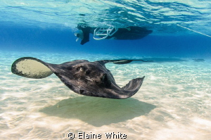 Stingray at the Sandbar by Elaine White 